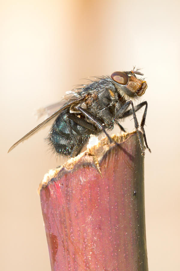 Download Black fly close-up stock image. Image of irritate, isolate - 22845021