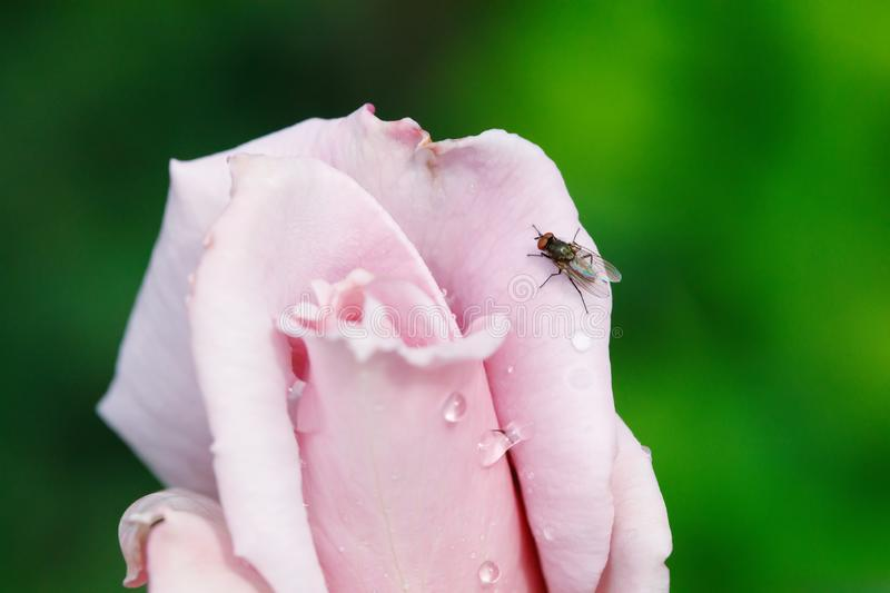 Black fly on pink rose flower bud in garden. Green background stock photography