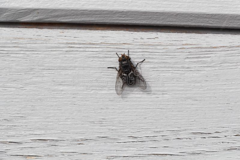 Fly on grey wooden background. Black fly posed on grey wooden background stock photography