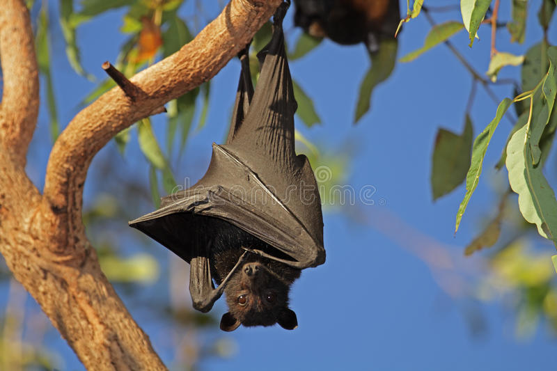 Black flying-fox. (Pteropus alecto) hanging in a tree, Kakadu National Park, Northern territory, Australia stock images