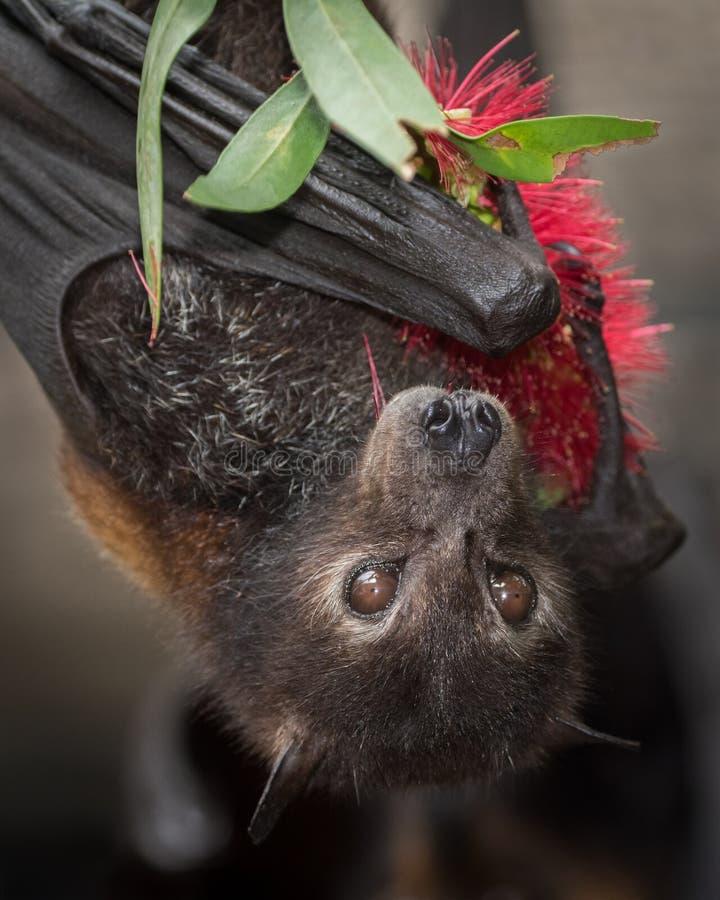 Black Flying Fox Bat With Bottlebrush Flower. A black flying fox licks the pollen off a bottlebrush flower at a wildlife rescue centre in Kuranda, Queensland stock photos