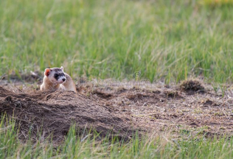 A Black-footed Ferret on the Colorado Plains. An Adorable Black-footed Ferret Roaming the Prairie on a Spring Morning royalty free stock image