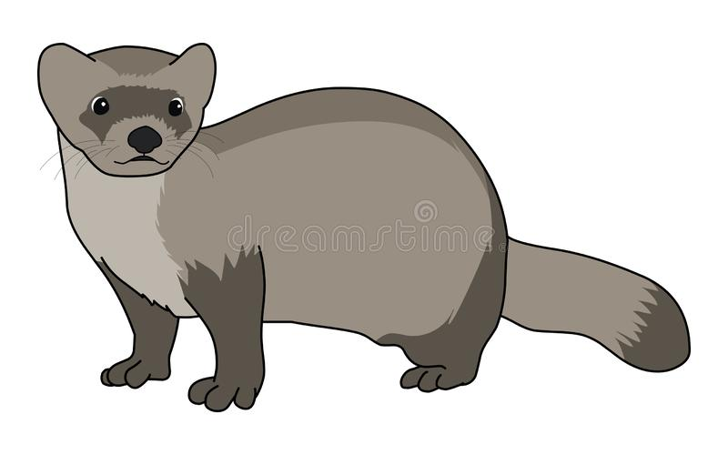 Black-Footed Ferret illustration vector.Cartoon ferret vector. Black-Footed Ferret illustration vector isolated on white background.Cartoon ferret vector stock royalty free illustration