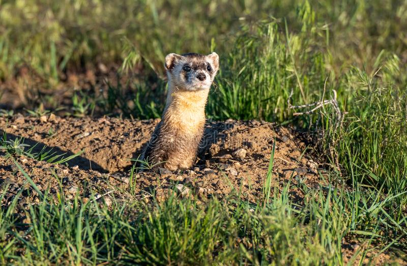 Black-footed Ferret on the Plains of Colorado. An Endangered Black-footed Ferret Climbing out of Its Den on the Colorado Prairie stock photography