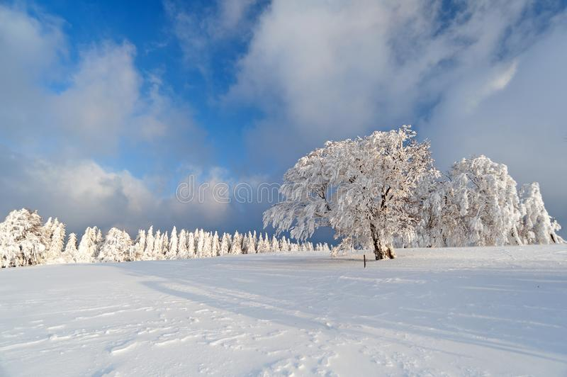 Black Forest in the winter. Frozen trees in winterly Black Forest, Southern Germany stock photography