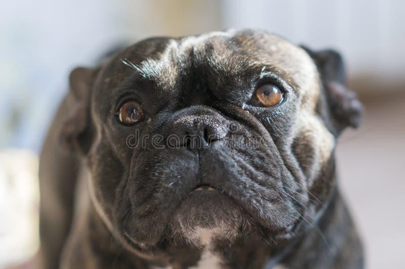 Black french bulldog with blur background. dog with sad eyes. close-up stock photography