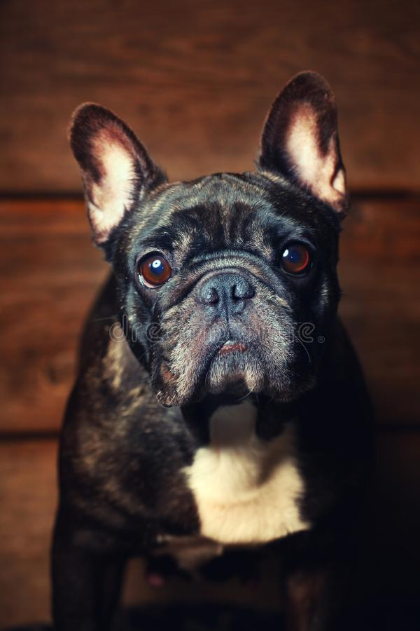 Black french bulldog wooden desk background stock photo