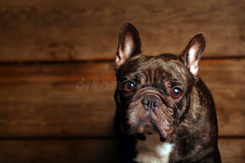 Black french bulldog wooden desk background stock images