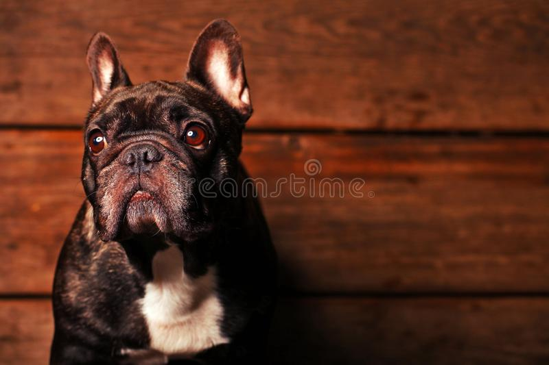Black french bulldog wooden desk background royalty free stock images