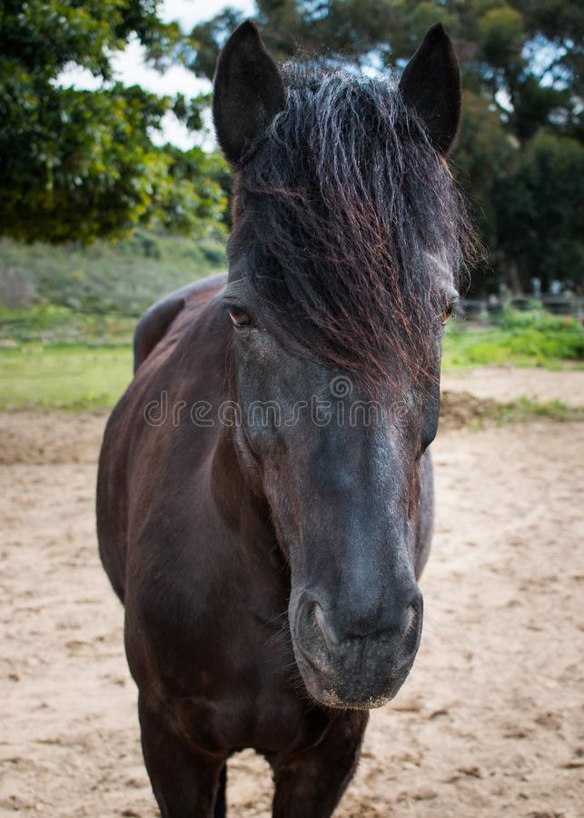 Black Friesian cross horse standing outdoors royalty free stock photography