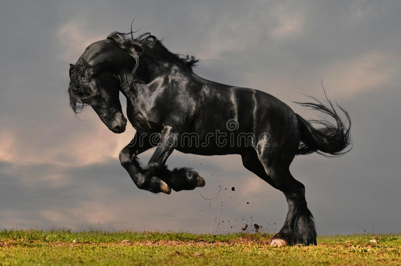 Black friesian horse. Black friesian stallion gallop in sunset