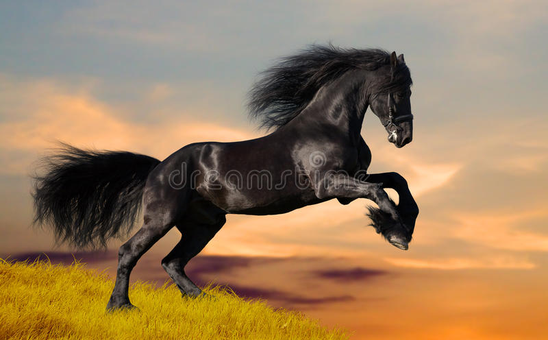 Black Friesian horse gallops on the hill stock image
