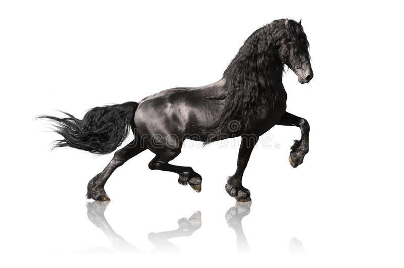 Download Black Friesian Horse Isolated On White Stock Image - Image: 17084633
