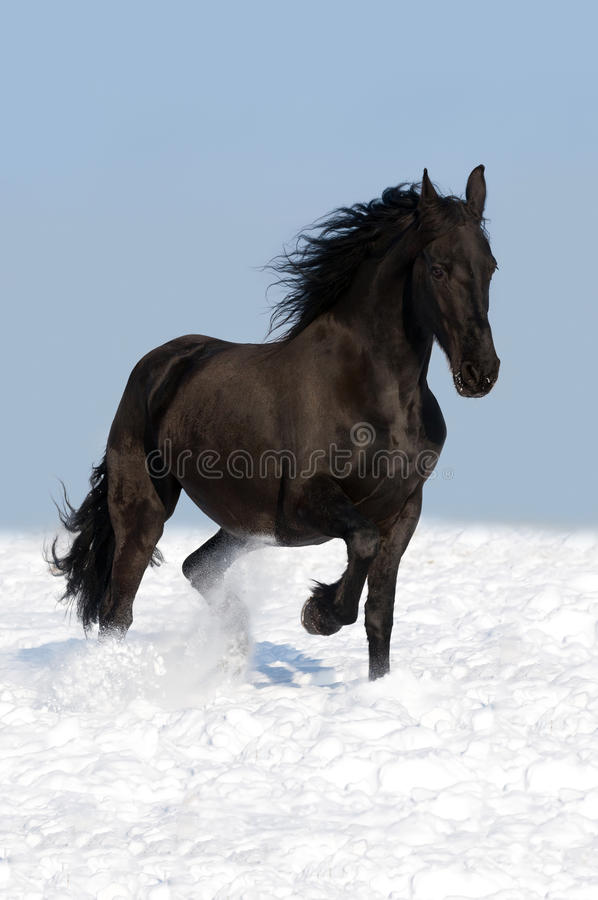 Black friesian horse on the meadow stock images
