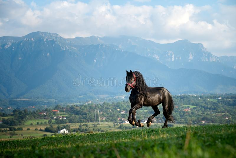 Black friesian horse running at the mountain farm in Romania, black beautiful horse royalty free stock image