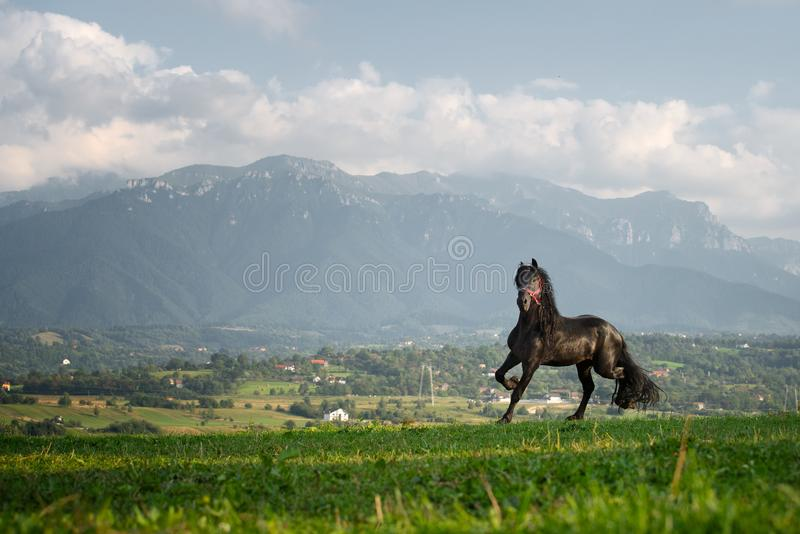 Black friesian horse running at the mountain farm in Romania, black beautiful horse stock image