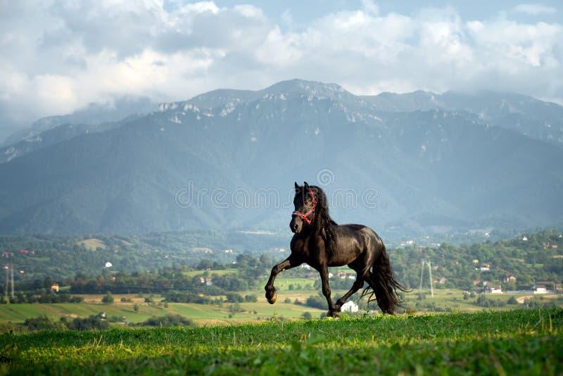 Black friesian horse running at the mountain farm in Romania, black beautiful horse stock photo