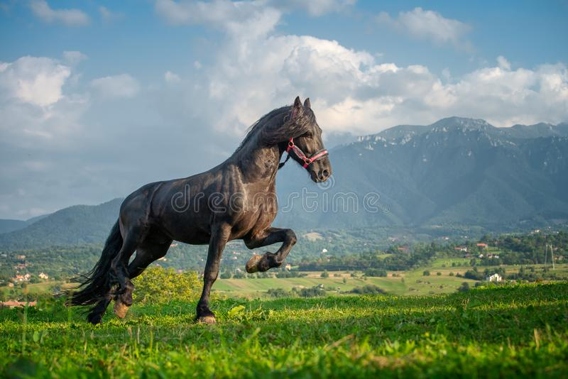 Black friesian horse running at the mountain farm in Romania, black beautiful horse royalty free stock image