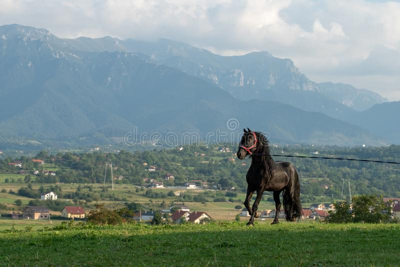 Black friesian horse running at the mountain farm in Romania, black beautiful horse stock photography