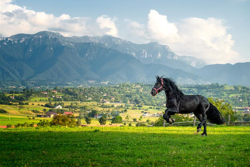 Black friesian horse running at the mountain farm in Romania, black beautiful horse royalty free stock photography