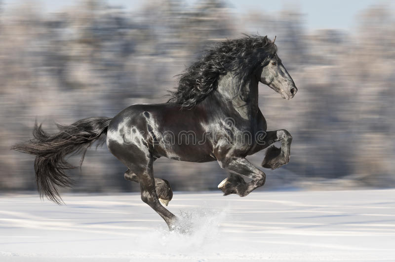 Black Friesian horse runs gallop on blurred winter background royalty free stock photo