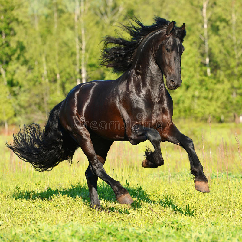 Black Friesian horse runs gallop in freedom stock photography