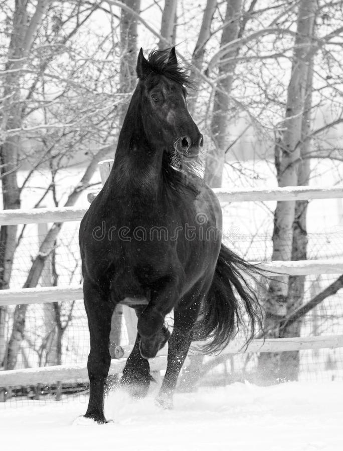 Black Friesian horse in black and white royalty free stock photo