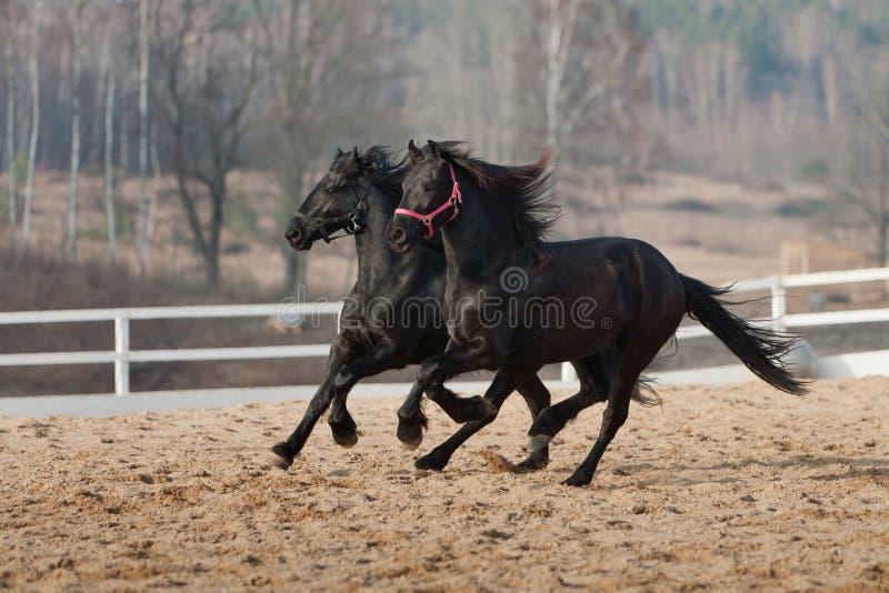 Black friesian horses stock photography