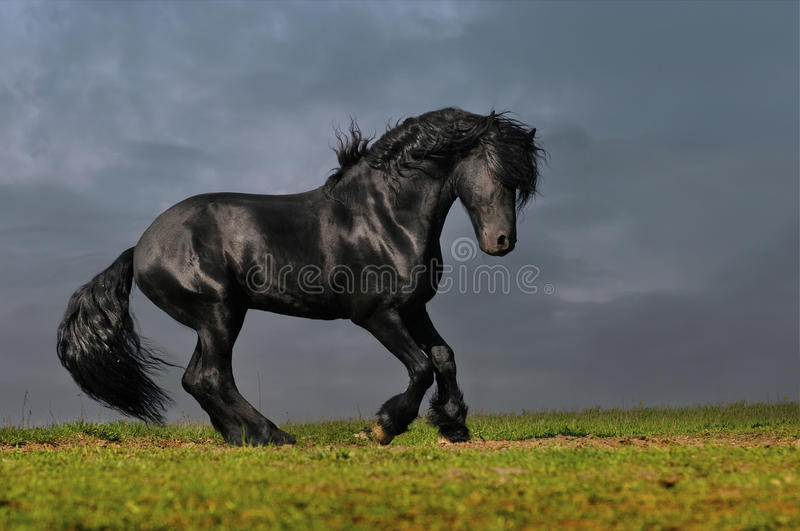 Black friesian stallion gallop in sunset stock images