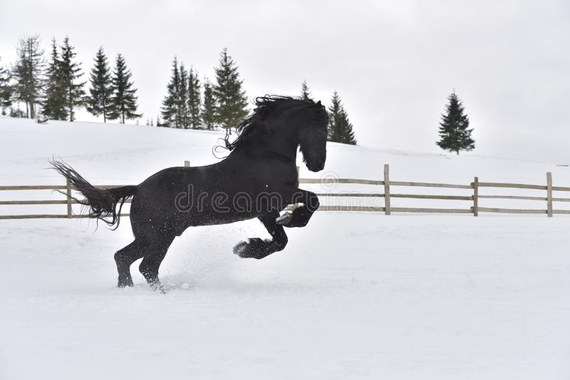 Black frisian horse gallop in snow in winter time. On the mountains royalty free stock photo