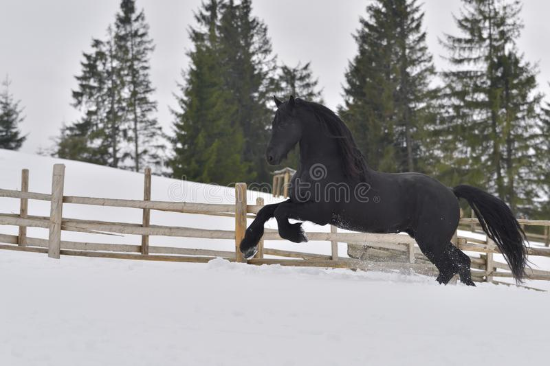 Black frisian horse gallop in snow in winter time. On the mountains royalty free stock photos
