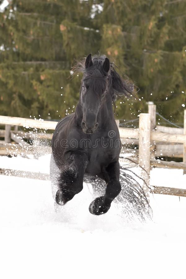 Black frisian horse portrait gallop in snow in winter time royalty free stock image