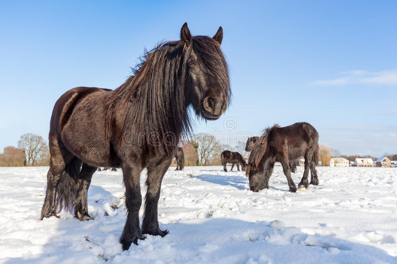 Black frisian horses in winter snow. Several black frisian horses in winter snow on sunny day stock images