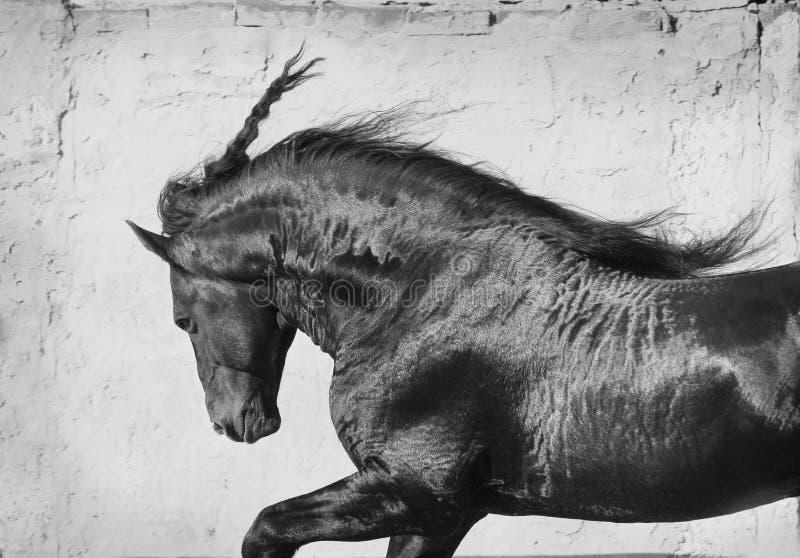 Black frisian stallion royalty free stock photography