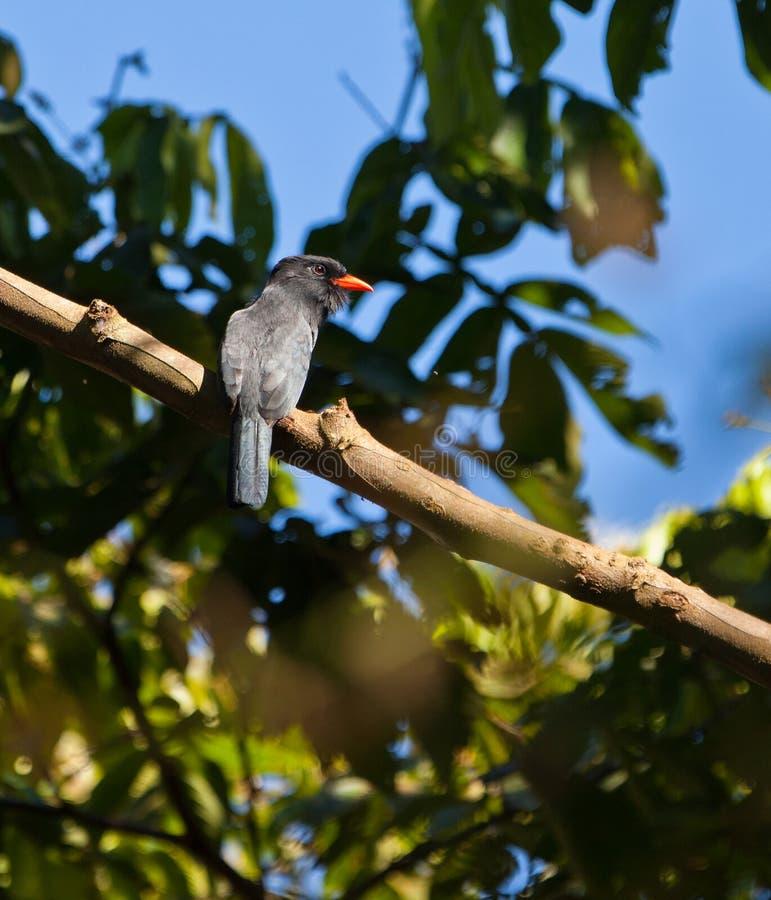 The Black-fronte Nunbird