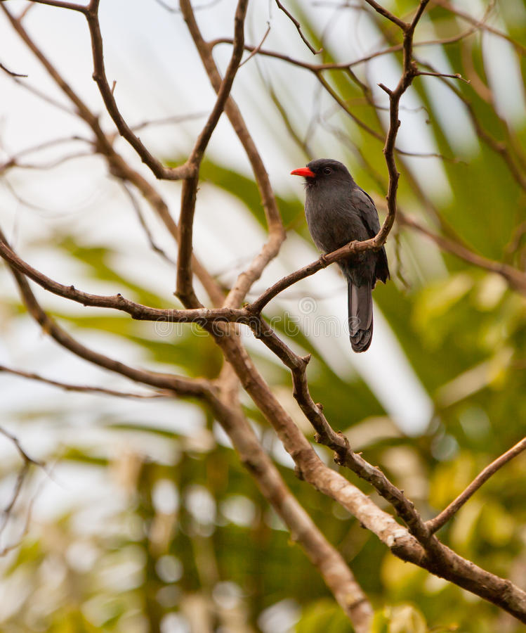 Download Black-fronted Nunbird stock photo. Image of colour, creatures - 25970668