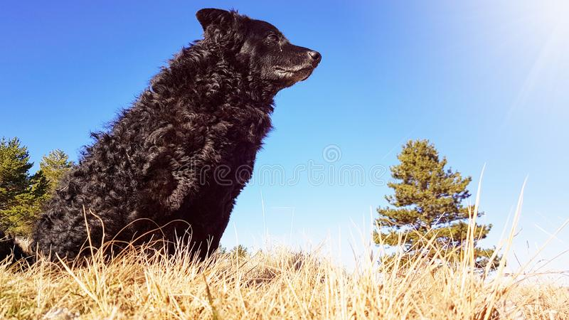 Black funny and sleepy curly dog sitting on a dry winter grass relaxing and catching warm morning sun. Light on a nice clear sunny day stock photography