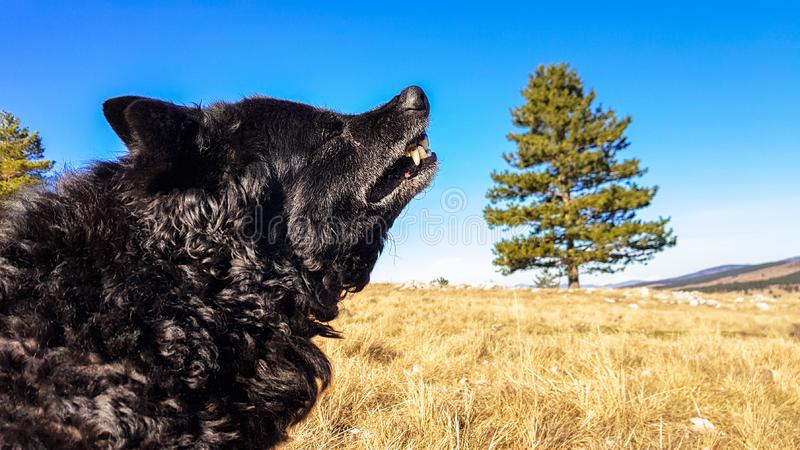 Black funny and sleepy curly dog sitting on a dry winter grass relaxing and catching warm morning sun. Light on a nice clear sunny day royalty free stock photography
