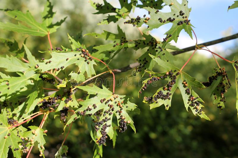 Black galls caused by maple bladder-gall mite or Vasates quadripedes on Silver Maple Acer saccharinum foliage. Black galls caused by maple bladder-gall mite or stock photo