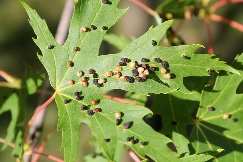 Black galls caused by maple bladder-gall mite or Vasates quadripedes on Silver Maple Acer saccharinum leaf royalty free stock image