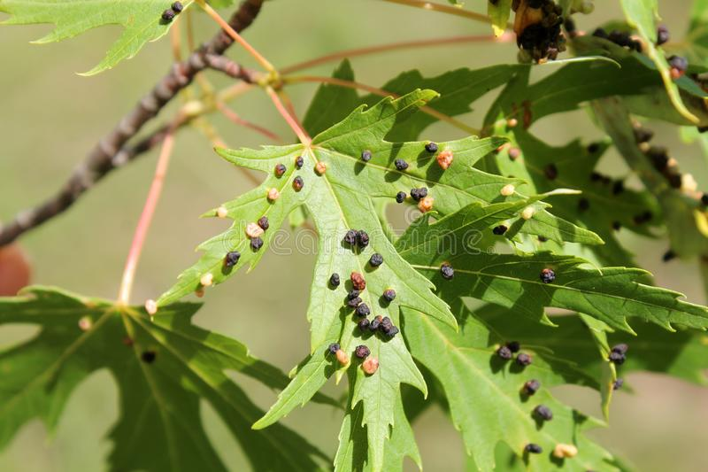 Black galls caused by maple bladder-gall mite or Vasates quadripedes on Silver Maple Acer saccharinum leaf royalty free stock photos