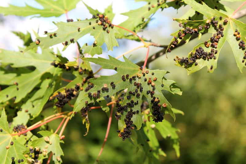 Black galls caused by maple bladder-gall mite or Vasates quadripedes on Silver Maple Acer saccharinum foliage royalty free stock photography