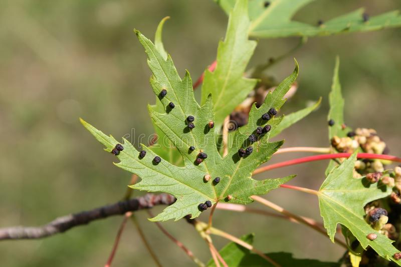 Black galls caused by maple bladder-gall mite or Vasates quadripedes on Silver Maple Acer saccharinum leaf royalty free stock images