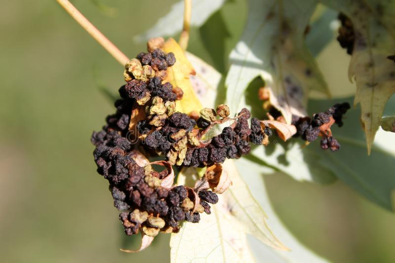 Black galls caused by maple bladder-gall mite or Vasates quadripedes on Silver Maple Acer saccharinum leaf royalty free stock photography