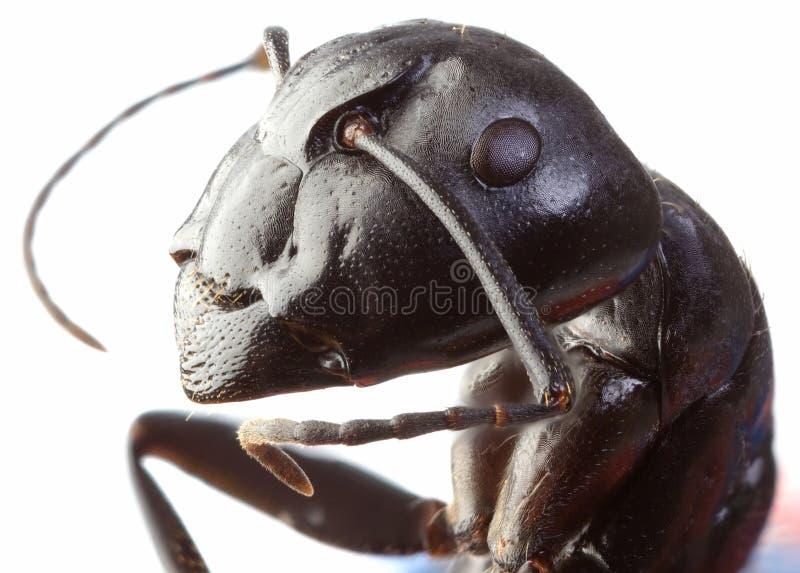 Black Garden Ant Cutout stock photo