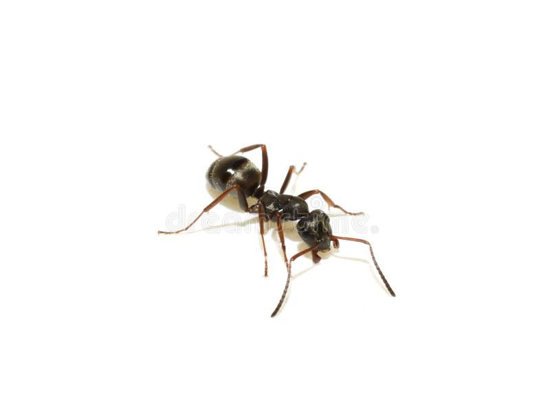 Lasius niger common black garden ant isolated. The black garden ant Lasius niger isolated on white background royalty free stock photography