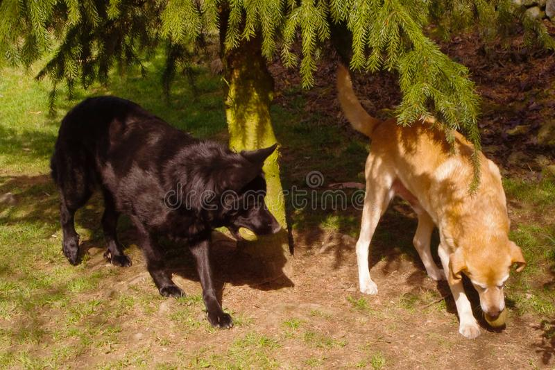 Two dogs playing with ball royalty free stock image