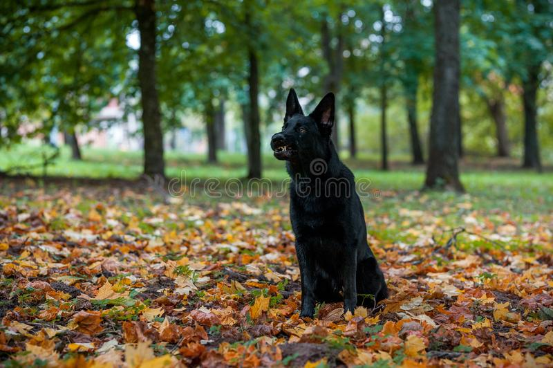 Black German Shepherd Dog Sitting on the grass. Open Mouth. Autumn Leaves in Background. Angry Face stock photo