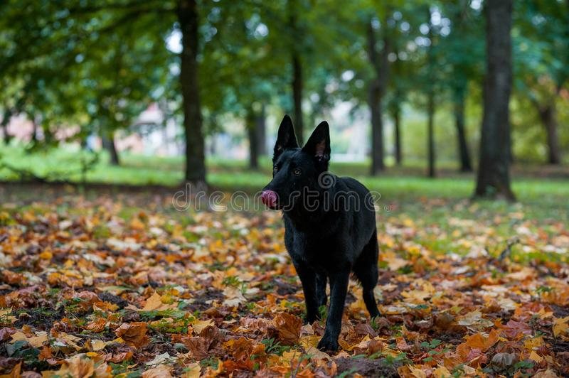 Black German Shepherd Dog Walking on the grass. Open Mouth, Tongue Out. Autumn Leaves in Background. Black German Shepherd Dog Walking on the grass royalty free stock image
