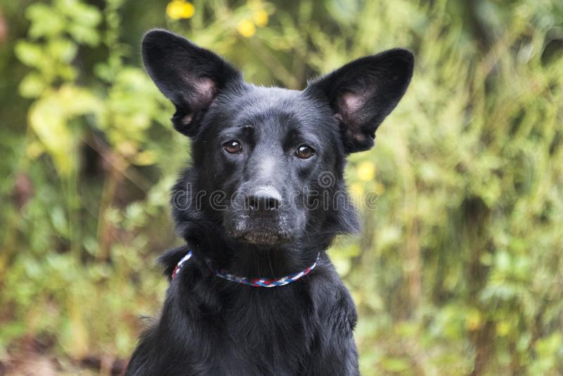 Black German Shepherd mix dog with big ears royalty free stock photo